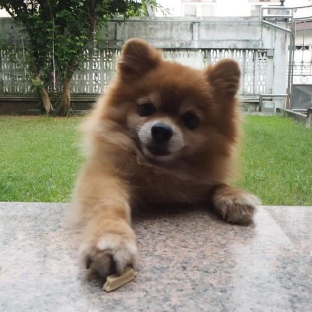 A small, fluffy, Pomeranian dog reaching a paw across a table toward the camera person.